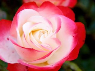Rose im Pfarrgarten, Syke